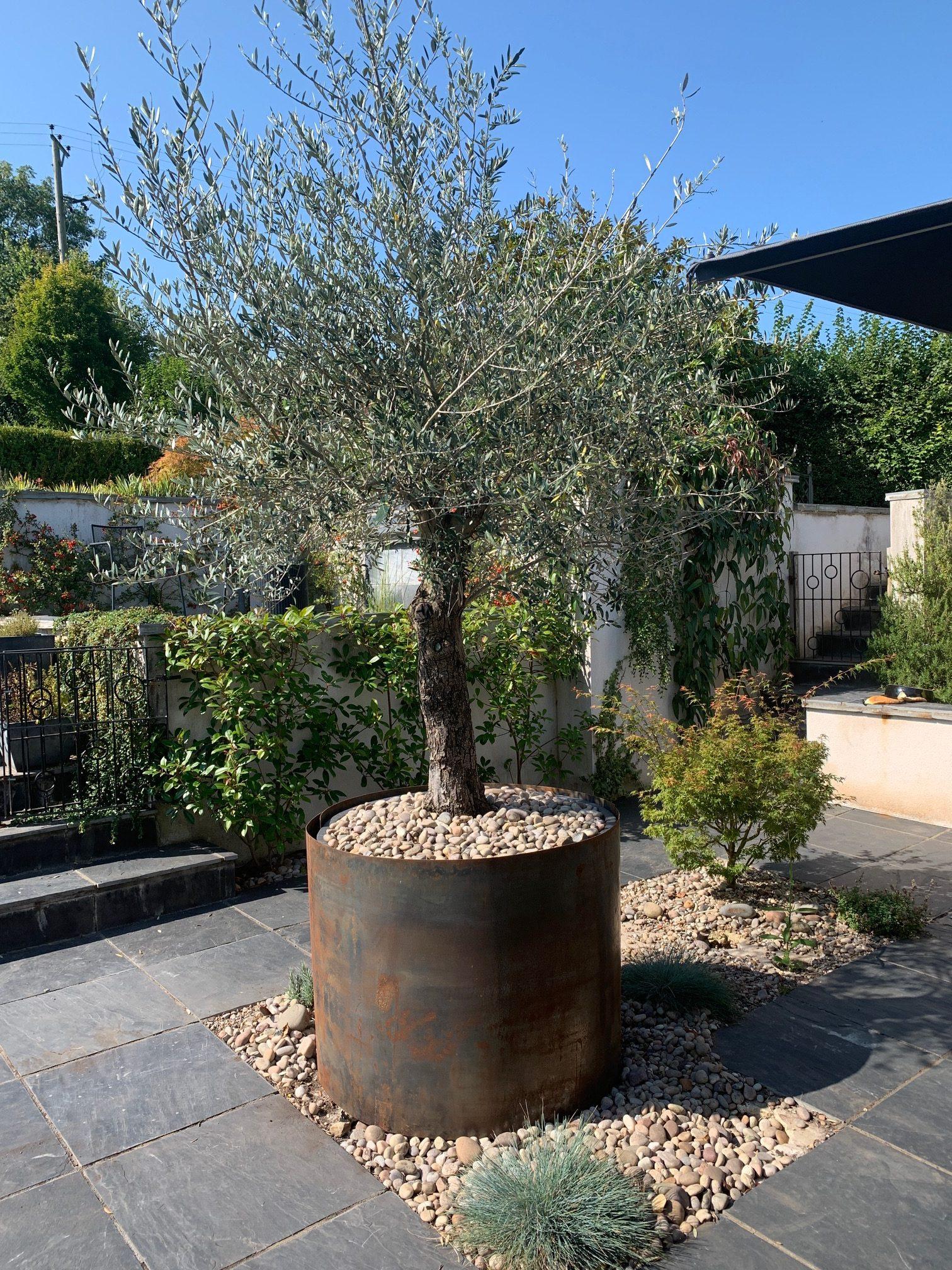 Olive Tree Plant Pot - The Fothergills